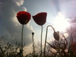 Poppy Silhouettes